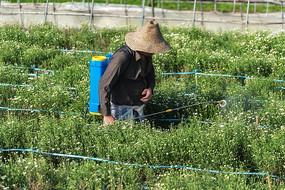 黄山贡菊喷洒叶面肥
