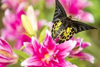 花上的荧光裳凤蝶