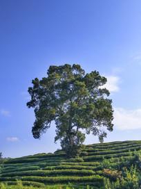 蓝天下一颗古树