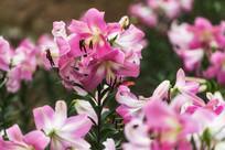 漂亮粉色香水百合