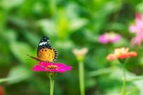 斐豹蛱蝶在采蜜