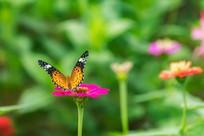 斐豹蛱蝶在小憩