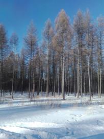 坝上松树林
