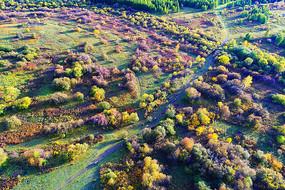 彩林秋色小路上牧归的牛群 航拍