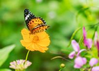 采蜜的斐豹蛱蝶