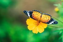 采蜜的蝴蝶