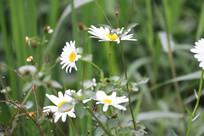 草丛中白色的格桑花特写