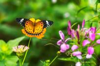 飞舞的斐豹蛱蝶