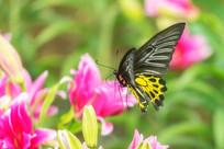 飞行中的珠光黄裳凤蝶