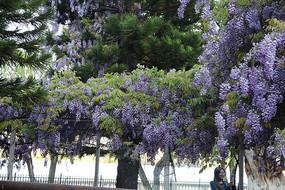 挂满枝头的蓝花楹