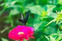 黑凤蝶的舞姿