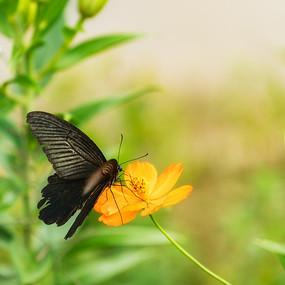 黑凤蝶在采蜜