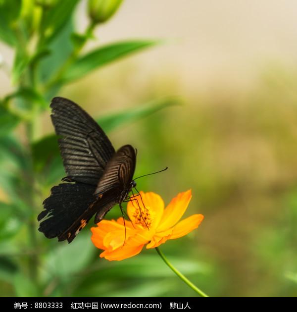 黑凤蝶在觅食图片