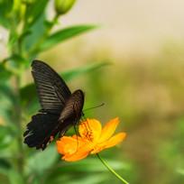 黑凤蝶在觅食