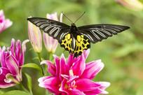黑色的荧光裳凤蝶