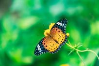 蝴蝶在采蜜