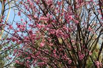 娇艳盛开的桃花