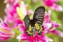 落脚在香水百合上的荧光裳凤蝶