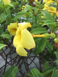 绿枝中的黄婵