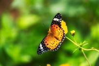 觅食的蝴蝶