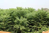 山区农村茂密的香椿树