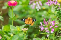 停歇的斐豹蛱蝶