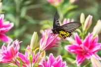 香水百合花上的珠光黄裳凤蝶