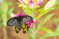 小憩中的珠光黄裳凤蝶