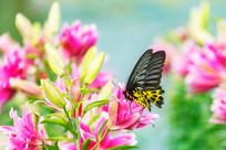 一只珠光黄裳凤蝶