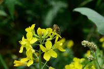 有蜜蜂的花朵