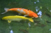 鱼池里的锦鲤