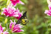 在飞舞的珠光黄裳凤蝶