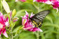 在落脚的 珠光黄裳凤蝶
