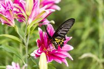 在觅食的珠光黄裳凤蝶