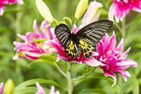 在轻歇的 珠光黄裳凤蝶