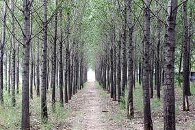 整齐生长排列的杨树林