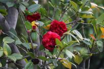 枝头绽放红艳的鲜花