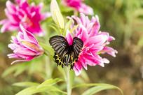 珠光黄裳凤蝶落在香水百合上