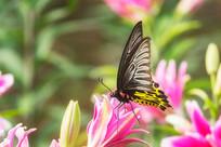 珠光黄裳凤蝶停在百合花上