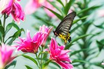 珠光黄裳凤蝶与香水百合花
