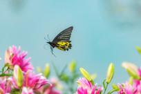 珠光黄裳凤蝶在飞行中