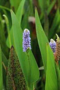 长条绿叶包裹的紫花