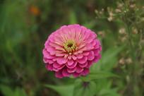 粉红色的复瓣鲜花特写