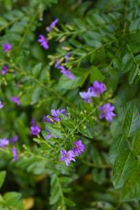 萼距花花朵