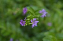 两朵紫花满天星