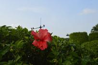 绿叶丛中的扶桑花