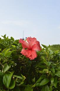 绿叶丛中一朵红扶桑