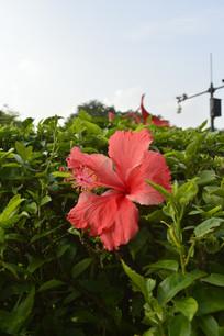 绿植丛中一朵红花扶桑