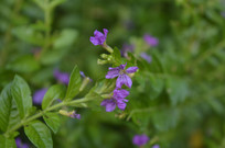 披针叶萼距花