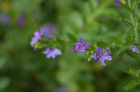披针叶萼距花摄影图